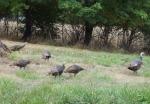 Our Resident Herd of WildTurkeys