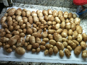 Our 2012 potato harvest...not bad for hard, rocky soil!!
