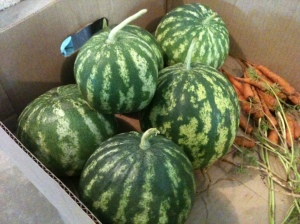 Although the 2012 watermelon had reached the full size they were going to grow to...they hadn't ripened when we had to pick them to save what we could from the deer.