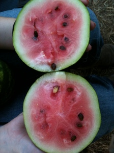 This was the ripest of our 2012 watermelon...