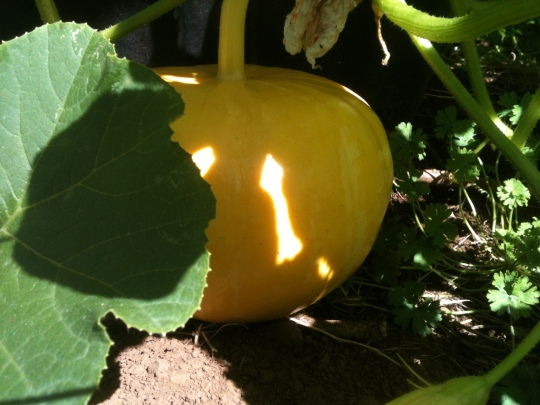 The strangest pumpkin I've ever seen