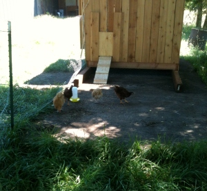I'm not sure why we thought closing the chicken door was a good idea.