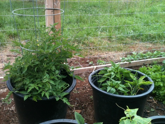 Tomatoes, Green and Yellow Bell Peppers
