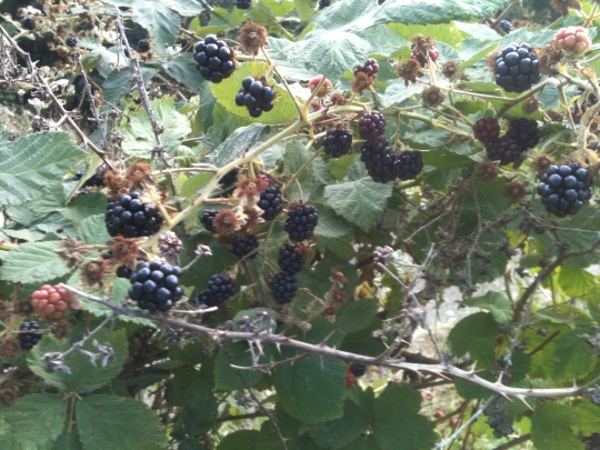 The start of our Wild Blackberry season!!