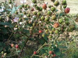 Wild Blackberries still to ripen