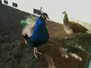 This picture was taken last spring...they made a visit to the chicken yard this past week.
