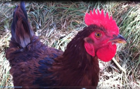 Watch out Benedict...I'm ranglin' for your hens .. especially that beautiful Claudio!!