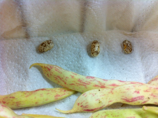Pinto Beans were incredibly fun to grow.