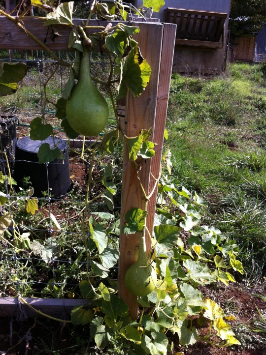 Our large gourds still hanging in there.