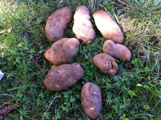 An example of our potato harvest.