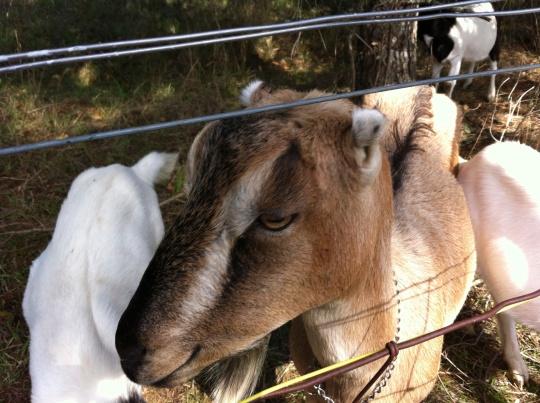 "Mama goat saying, ""Thank you."""