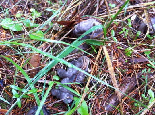 I thought this was some sort of wild animal poop...turned out to be a mushroom.  Black Elfin Saddle?  YUCK!