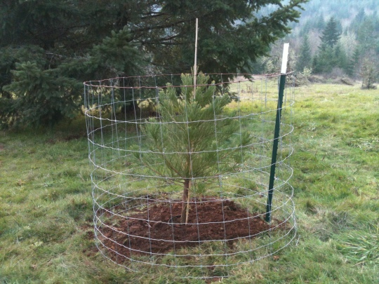 One of our cute, little, protected Sequoia trees.
