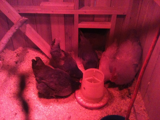 Coaxing them in with cracked corn so I can shut the chicken door.