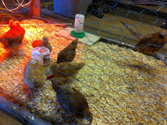 "Looking happy in their ""tween-age"" brooder."