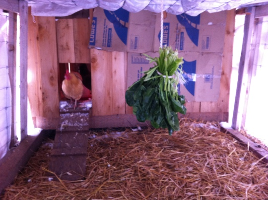 Hey what's that?? A little spinach hung from the ceiling helps break the cabin fever!