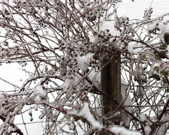 Frozen Blackberry bushes.