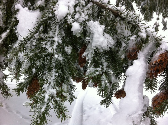 Limbs full of snow and ice on a Douglas Fir tree, beautiful, dangerous, and amazing!!