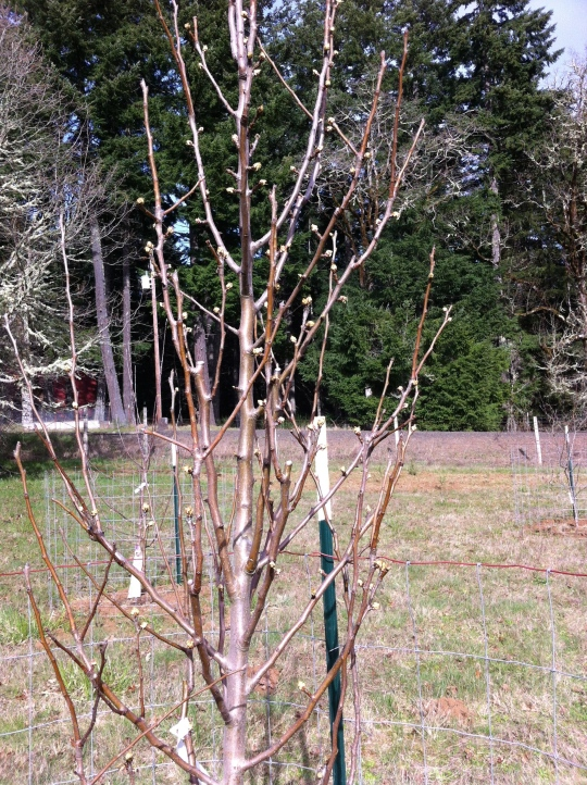 The Pear trees show the most spring-like activity.