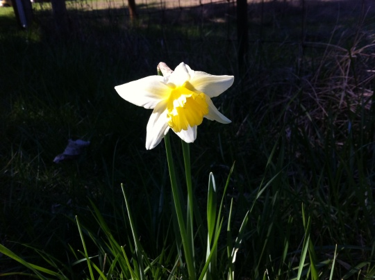 Our first Daffodil blossoms