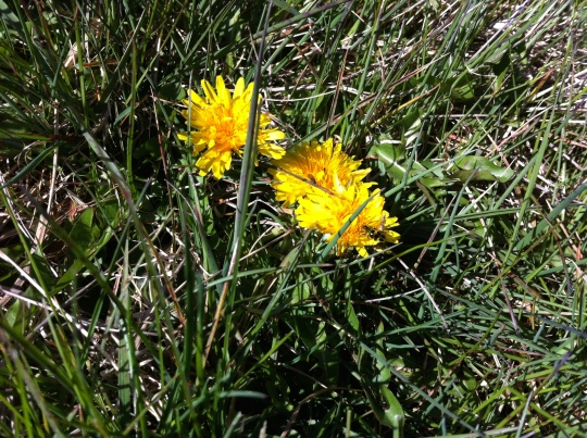 The first dandelions of the season!  My flock is very happy!!