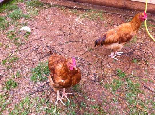 These two little roosters do not quite know how to manage all of this rain.