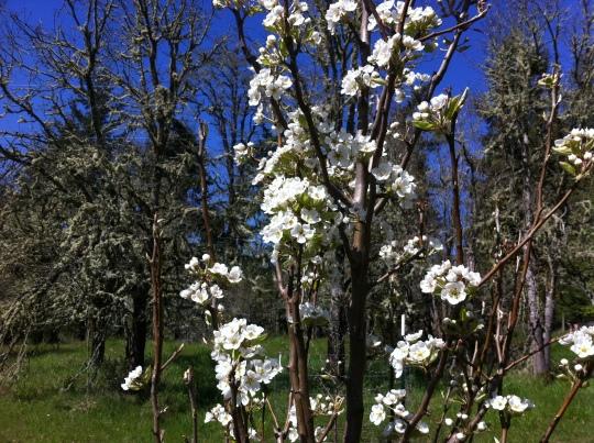 Beautiful Pear Trees