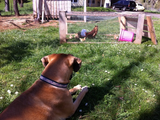 Penni watching over the youngest flock.
