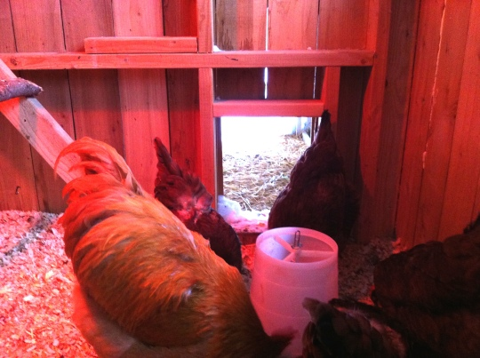 Benedict and some of his ladies...a little molting going on.