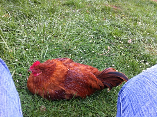 Buff Orpington / Rhode Island Red cross ... a really handsome roo.