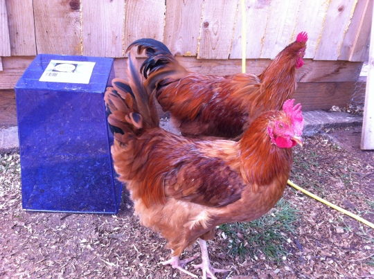 Two of the young adult roosters of the Middles.  They were really handsome boys!