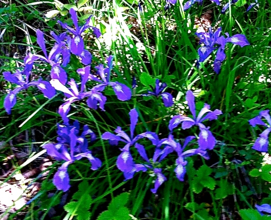 These wild Lilies are growing everywhere in the shady/partial sunny places right now.