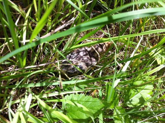 A hidden poult!  With her head slightly raised, this one was actually a little easier to see.