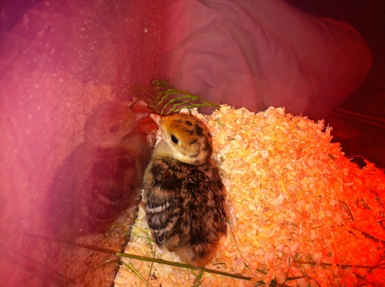 Young little poult warming up in under the heat lamp.