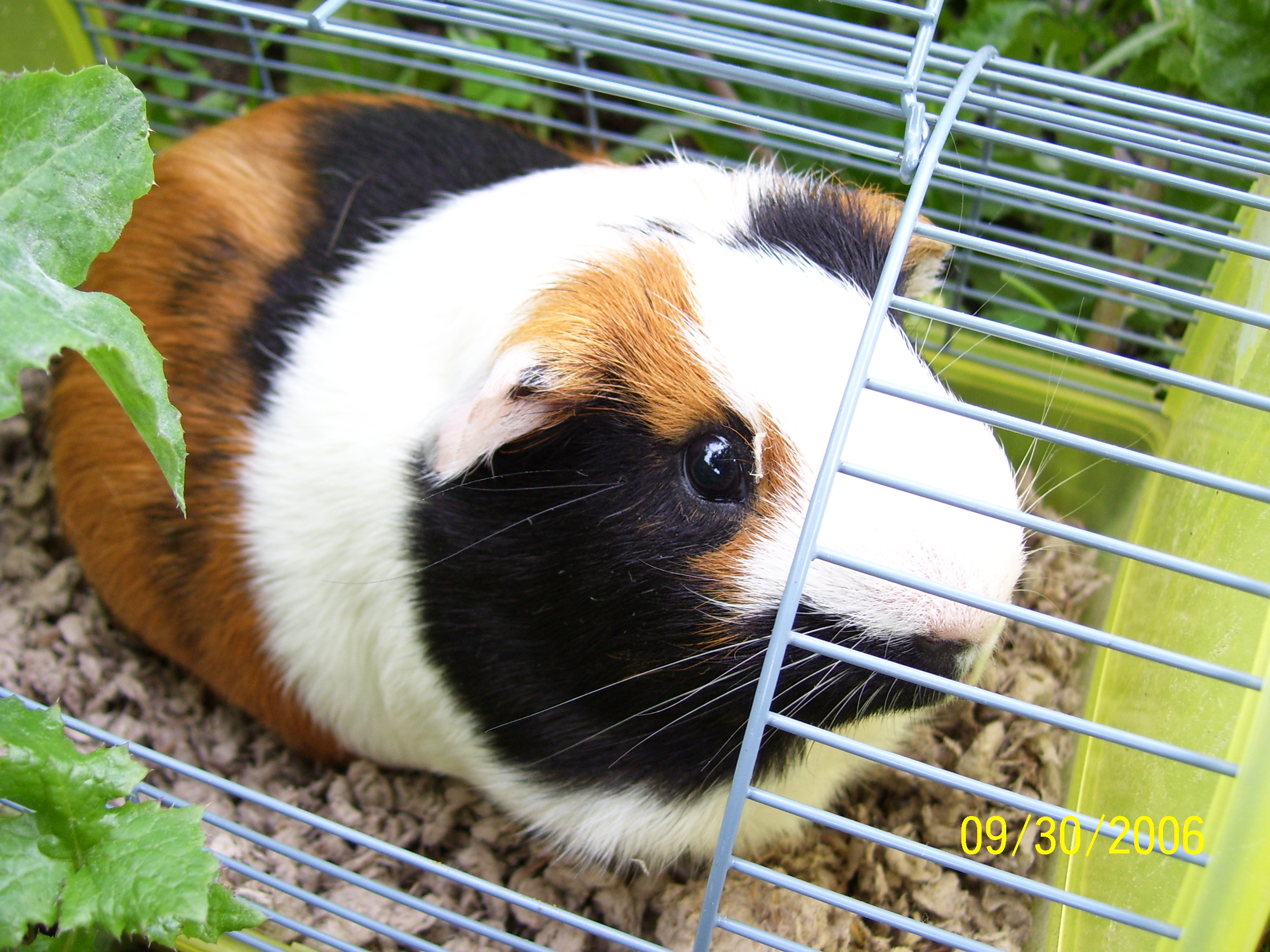 Really Cute Guinea Pigs Guinea Pigs Eat a Ton…really