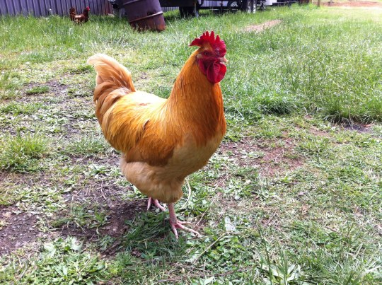 Benedict....our Big Daddy Rooster!! Patriarch to the Middles, and the Littles (aka the Muppets.)