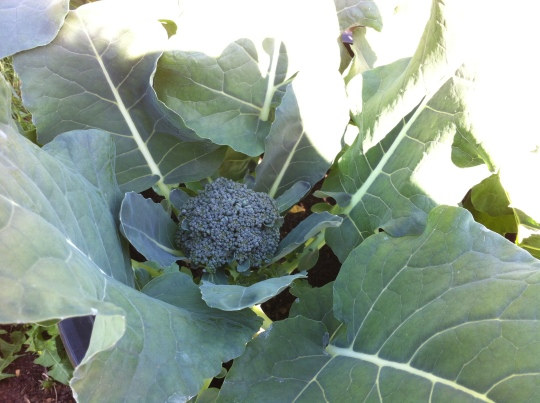 Beautiful Broccoli TODAY!