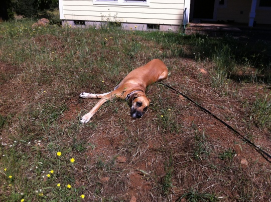 """Whyyyyyyyyy do I have to have this stupid leash on?  I'll just lay here then."""