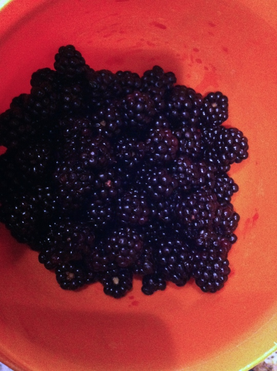 First wild blackberry harvest of 2014