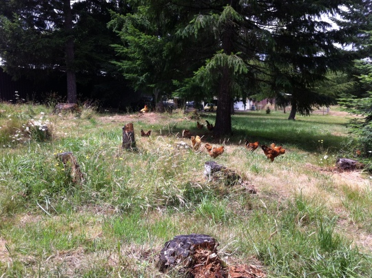 Happy chickens in the warmth of early summer.