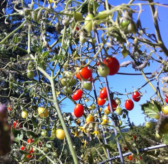 Tomatoes 2014