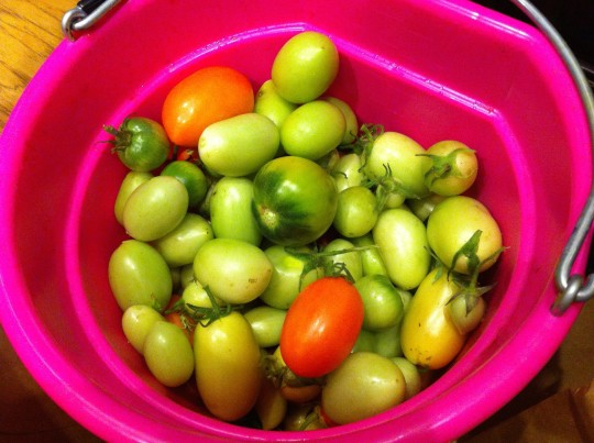 Green Tomatoes Sept. 2014