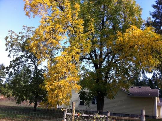 Black Walnut Tree 2014