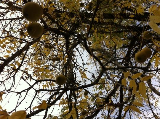 Black Wlanut Trees