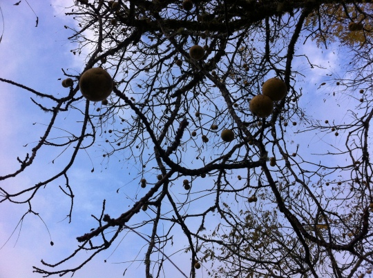 Walnut Trees 2014