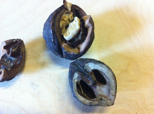 One older shell, and a new one that I cracked today showing the wet nut.
