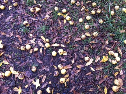 Dropped Walnuts 2014