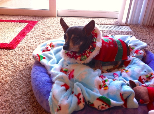 My mom's little Chiweenie...Chique...all dressed up on Christmas Eve!!