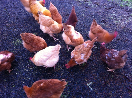 WHY...do chickens moult in the late fall, early winter??
