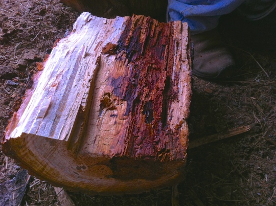 The beginnings of a rotting, live Douglas Fir.